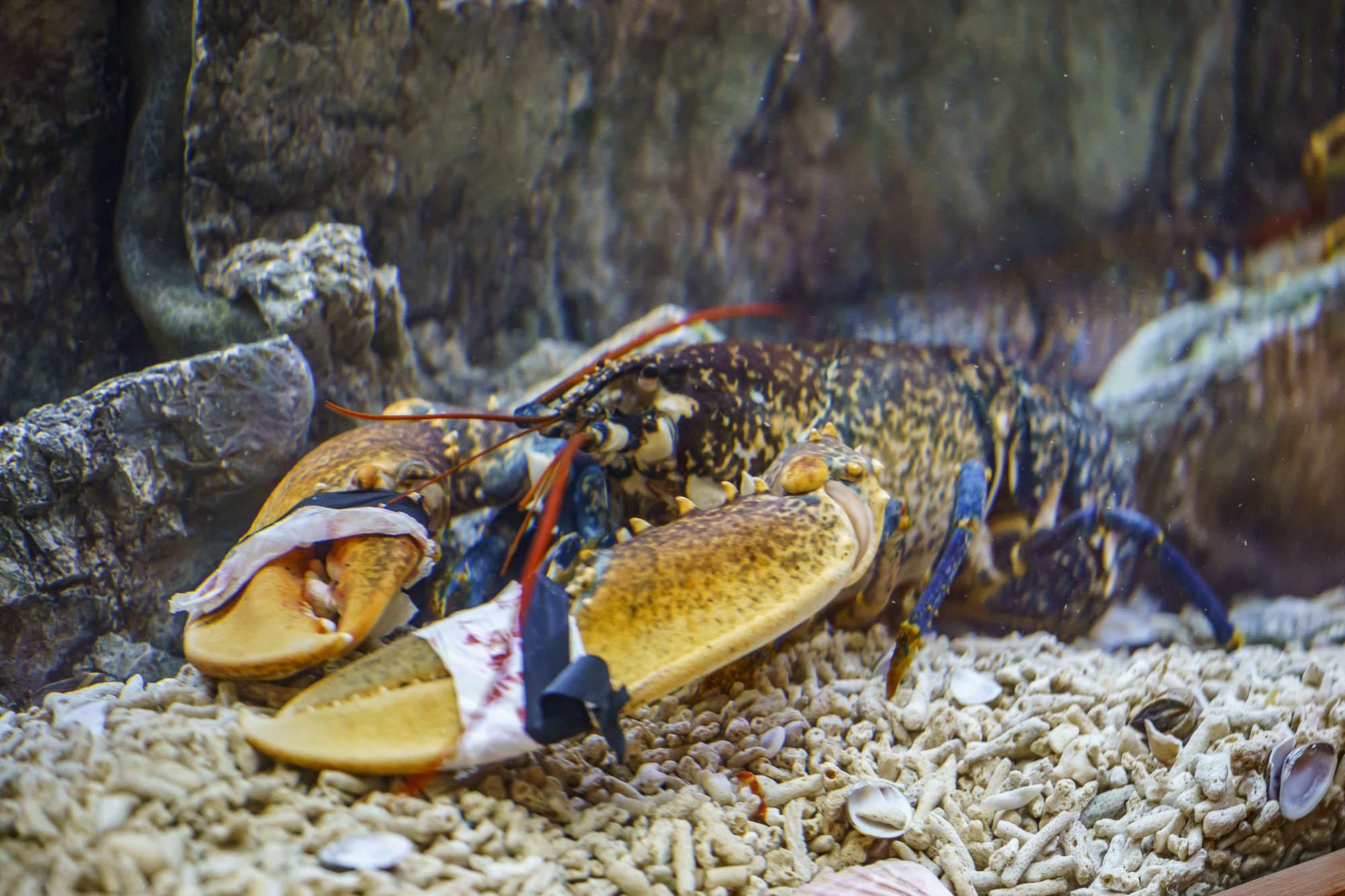 homar dancing lobster